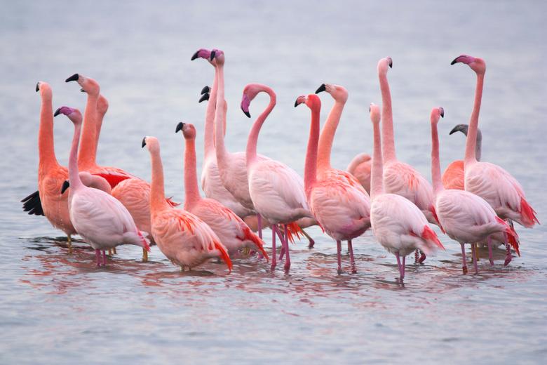 Flamingo's Zwillbrocker Venn